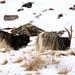 Feral goats (Jenny Thynne)