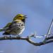 Black-throated Green Warbler by laszlofromhalifax