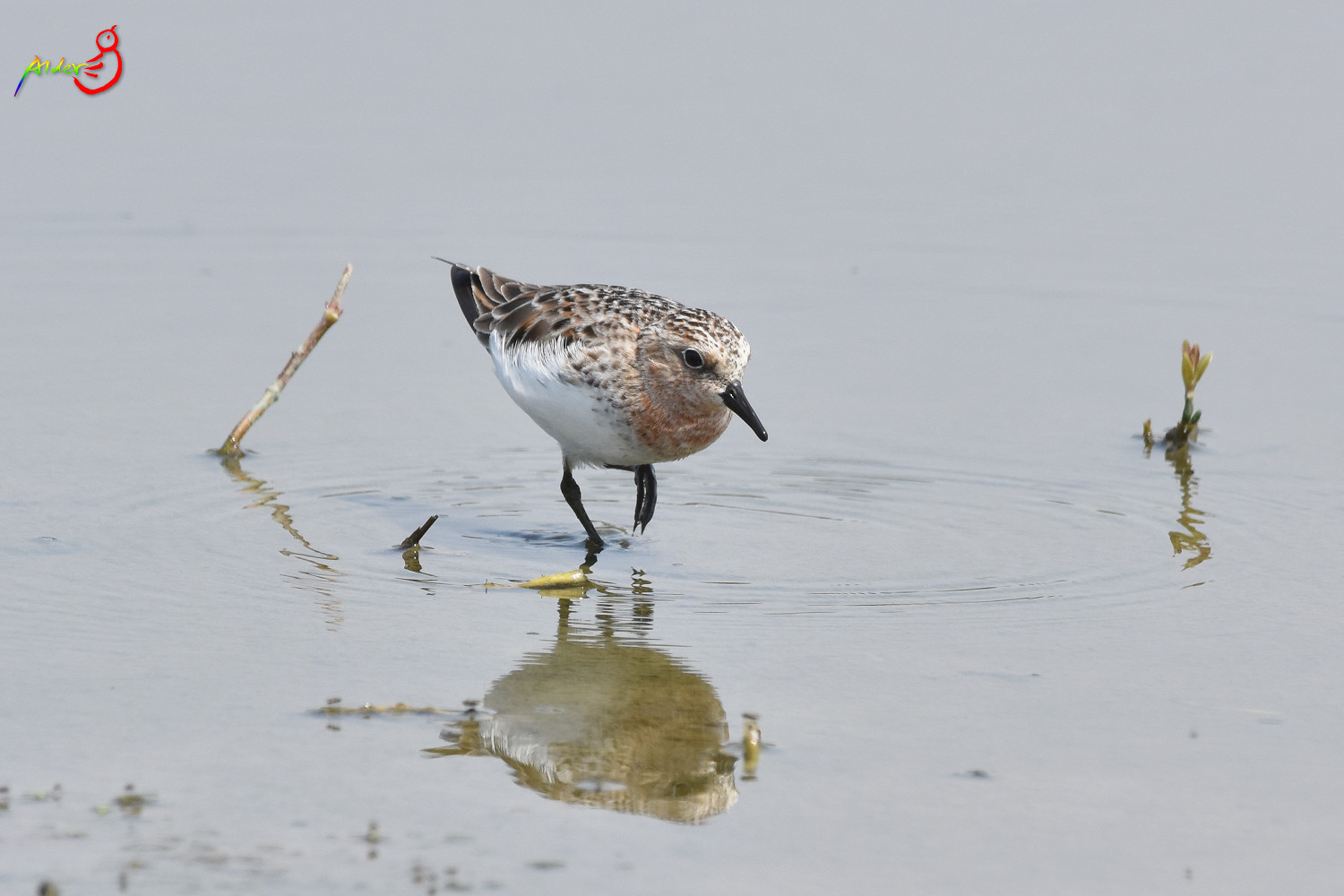 Red-necked_Stint_5674