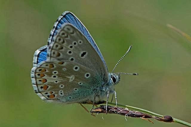Polyommatus (Lysandra) bellargus - the Adonis Blue (male)