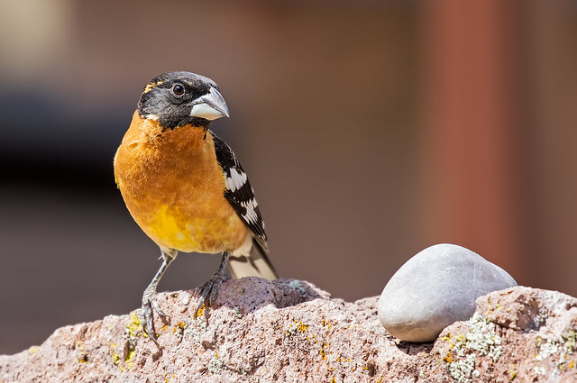 Black-headed-Grosbeak-15-7D2-050918