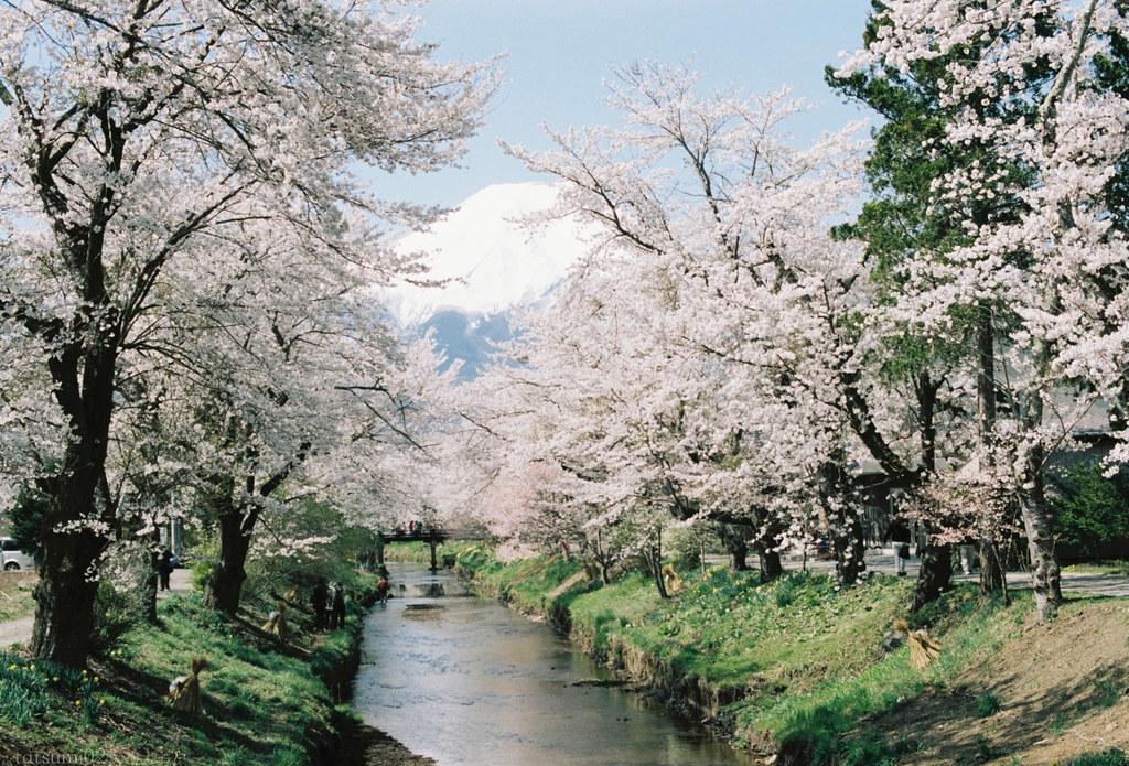 2018-05-20 新名庄川の桜 001