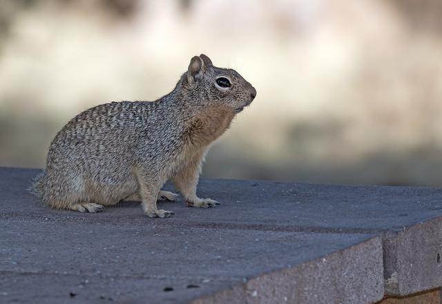 Squirrel-8-7D2-051118
