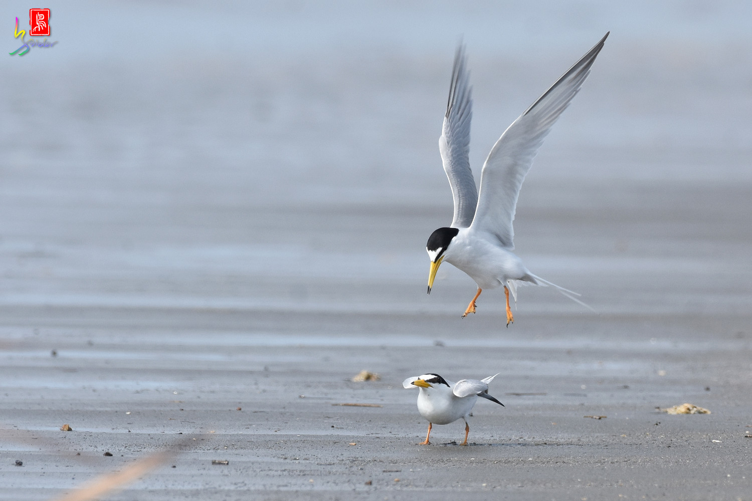 Little_Tern_4401