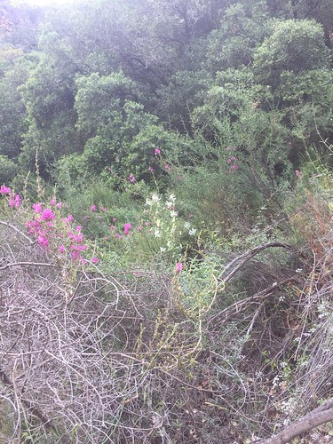 Wild Snapdragons & Michauxia campanuloides