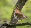 Wood Thrush (Hylocichla mustelina) - Central Park, New York City