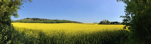 Oil seed rape fields of Shropshire {explored 7 May 2018}