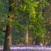 Bluebells by jactoll