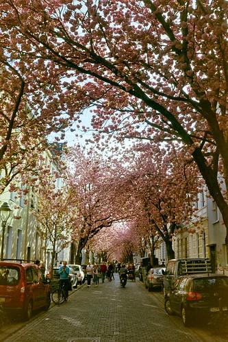 Cherry blossom fever