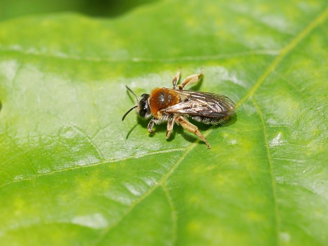 Early Mining Bee.