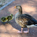 Greylag goose family, West Park