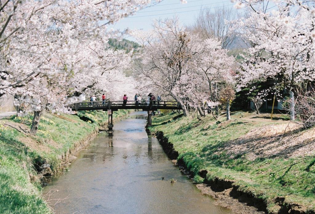 2018-05-20 新名庄川の桜 005