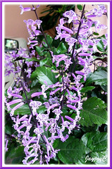 dainty lavender purple flowers of plectranthus 39 mona lavender 39 john jacq s garden. Black Bedroom Furniture Sets. Home Design Ideas