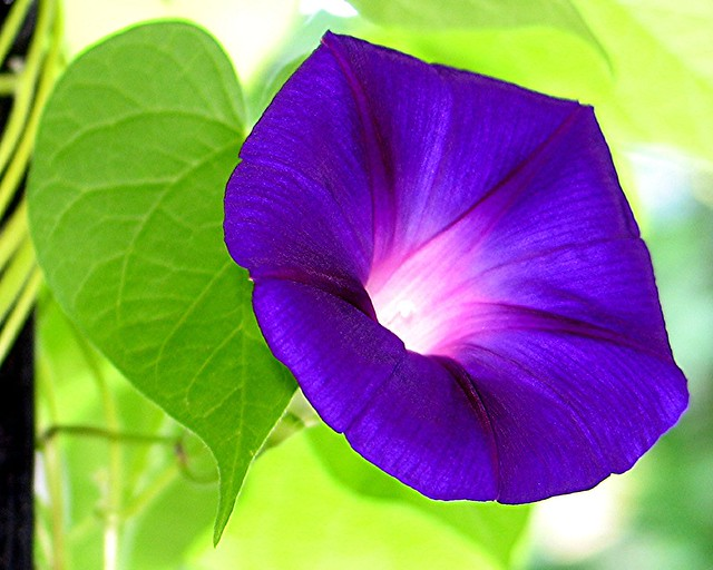 Morning Glory | Flickr - Photo Sharing!