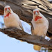 Long-billed Corellas doing a song and dance routine