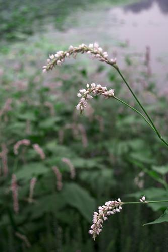 圆明园湖边不知名的花