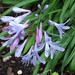 Small photo of Agapanthus