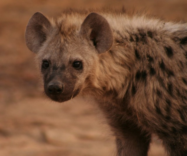 Is A Hyena A Cat Or A Dog
