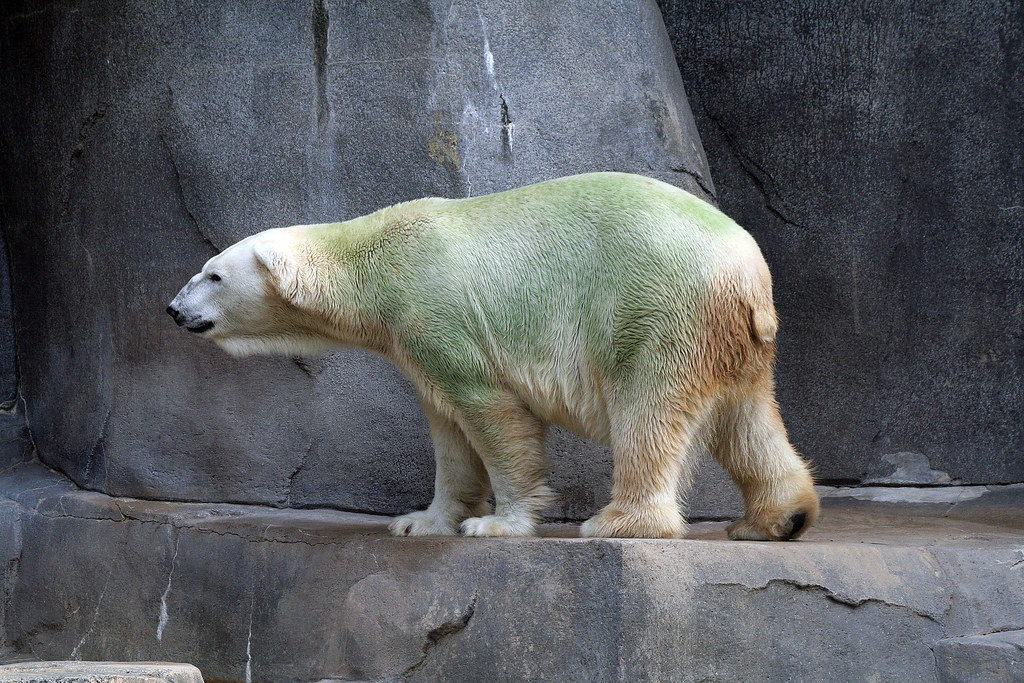 Aussie the Green Polar Bear