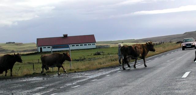 Vacas cruzando la carretera
