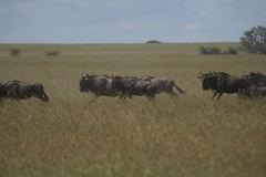 grazing(0.0), cattle(0.0), cattle-like mammal(1.0), animal(1.0), prairie(1.0), steppe(1.0), field(1.0), grass(1.0), wildebeest(1.0), plain(1.0), mammal(1.0), herd(1.0), fauna(1.0), natural environment(1.0), meadow(1.0), pasture(1.0), savanna(1.0), grassland(1.0), safari(1.0), wildlife(1.0),