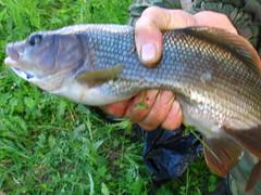 northern pike(0.0), carp(0.0), bass(0.0), trout(0.0), perch(0.0), common rudd(0.0), barramundi(0.0), milkfish(0.0), animal(1.0), fish(1.0), fish(1.0),