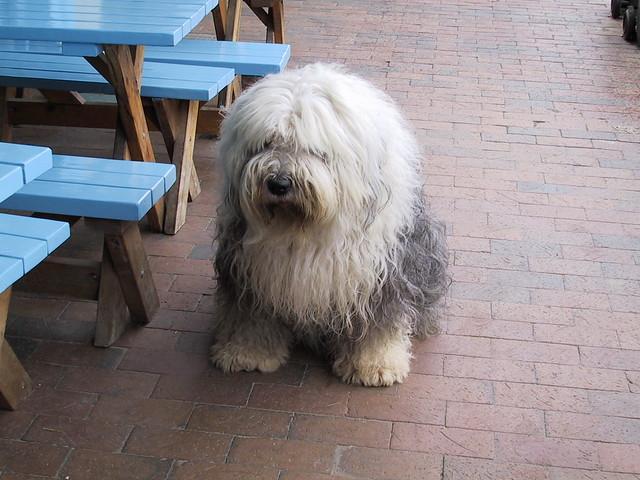 Hairiest Dog in the World (Australia)   Flickr - Photo Sharing!