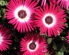 purple(0.0), gerbera(0.0), daisy(0.0), floristry(0.0), dorotheanthus bellidiformis(1.0), annual plant(1.0), flower(1.0), macro photography(1.0), flora(1.0), close-up(1.0), pink(1.0), petal(1.0),
