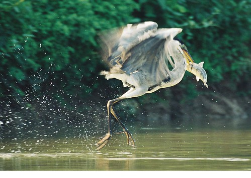 Giant heron got lucky