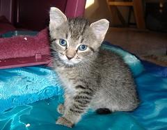 kitten weaning