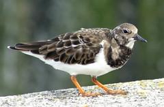 animal, charadriiformes, fauna, calidrid, sandpiper, beak, bird, lark, wildlife,