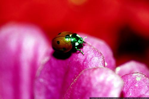 ladybug on a magenta zinnia petal    MG 2823