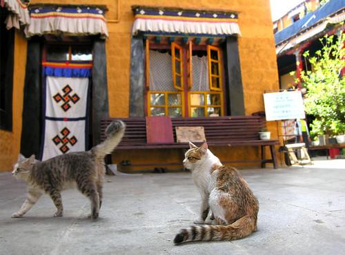 Tibet - Cats