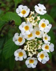 flower, plant, wildflower, flora, lantana camara,