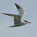 Common Tern - Photo (c) Tom McC., some rights reserved (CC BY-NC-ND)