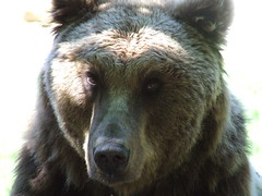 animal(1.0), american black bear(1.0), snout(1.0), mammal(1.0), grizzly bear(1.0), fauna(1.0), brown bear(1.0), bear(1.0), wildlife(1.0),