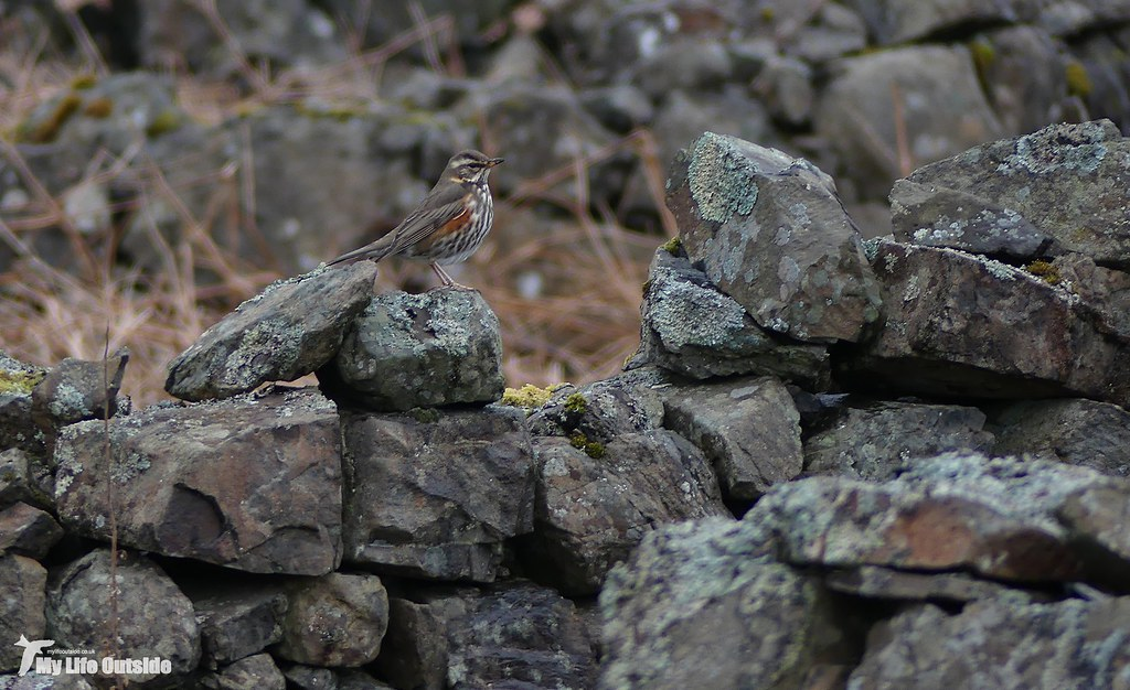 P1140798 - Redwing, Isle of Mull