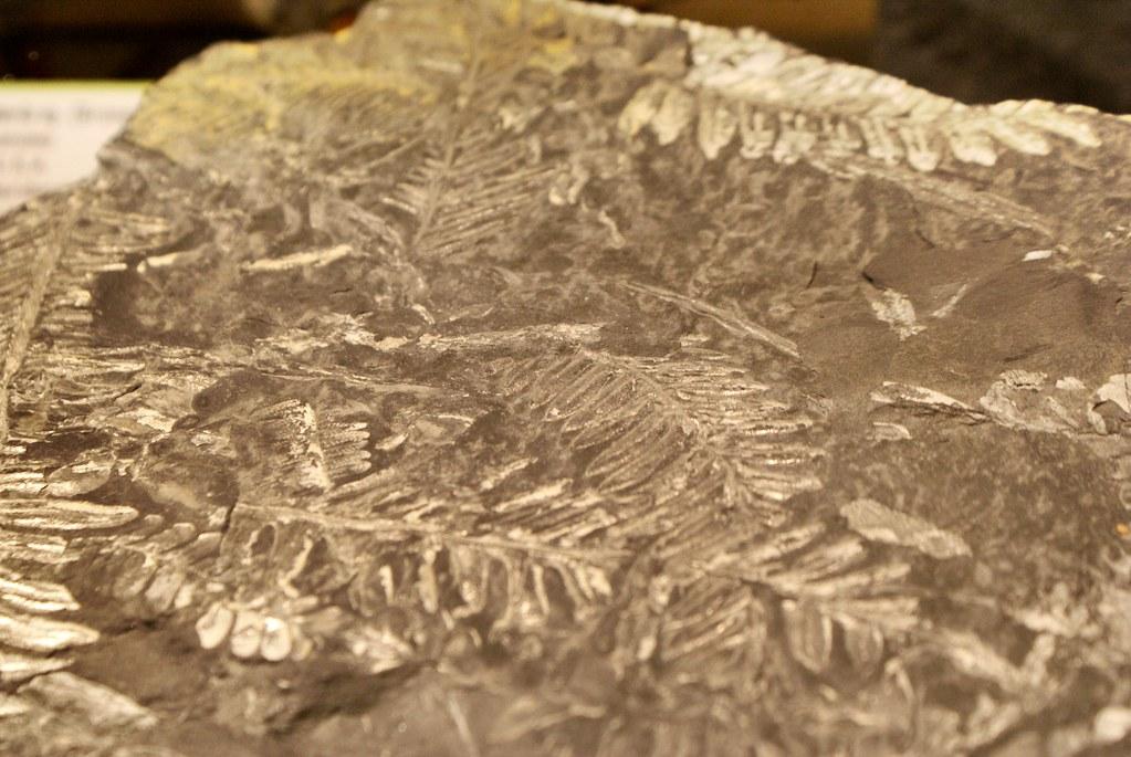 Fossile de fougères au musée botanique de Naples.