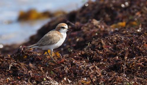 Shorebirds - Plover - Red-capped