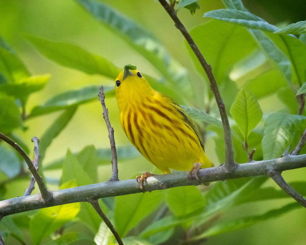 Yellow warbler having lunch