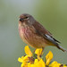 linnet 8 2018 male