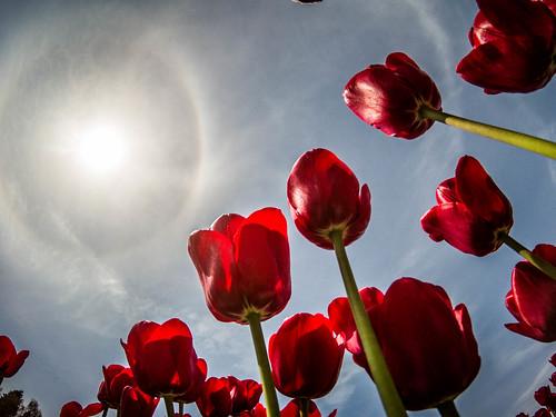 Skagit Valley Tulips-237
