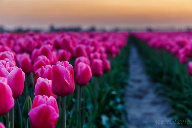 Purple flower @ tulip fields