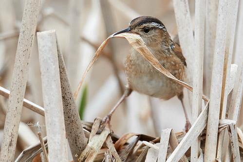 Marsh Wren building a nest