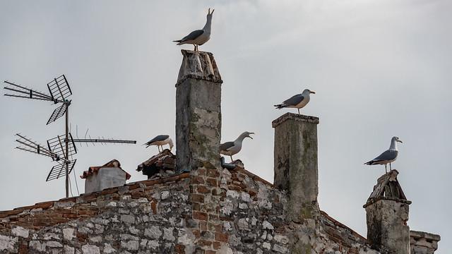 Seagulls Chatter