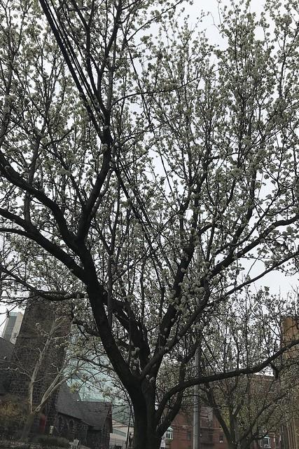 金, 2018-04-27 14:32 - Callery Pear カラリーペア
