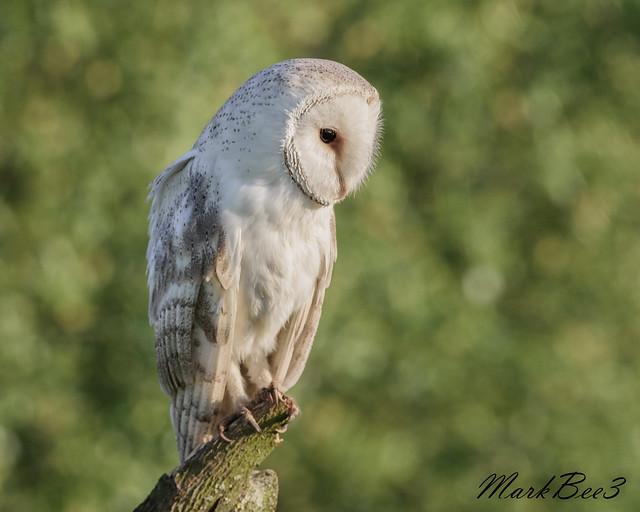Barn owl (2 of 3), Nikon D810, AF-S VR Nikkor 300mm f/2.8G IF-ED