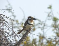 Russet-throated Puffbird (Hypnelus ruficollis)