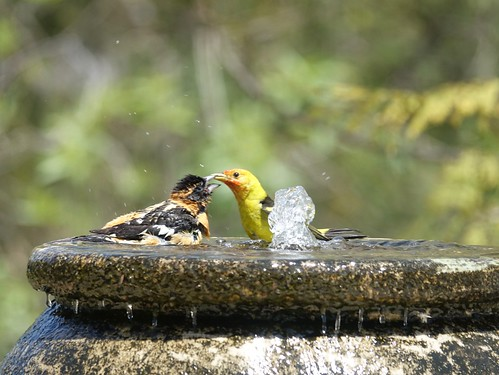 Western Tanager biting Black-headed Grosbeak