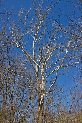 IMG_11873a_Sycamore